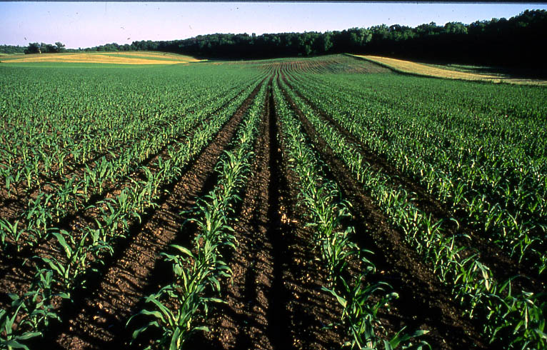 Corn Plant corn agronomy: what is happening in the corn plant during the