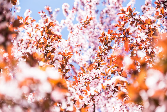 Celebrate Japanese-American Culture at Seattle's Cherry Blossom Festival