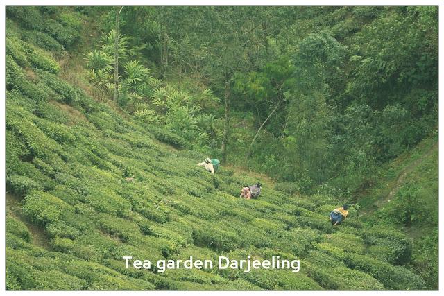Darjeeling Tea, Tea garden