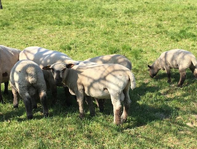 Schafe in der Gruppe