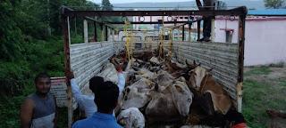 राष्ट्रीय हिंदू सेना एवं बजरंग दल और राष्ट्रीय बजरंग दल ने पकड़ा गौवंश से भरा आइसर ट्रक