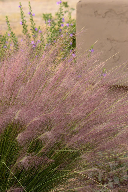 muhlenbergia capillaris, regal mist, pink muhly, ornamental grass,desert garden, small sunny garden, amy myers