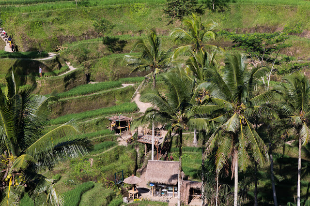 Rice cultivation terrace farming with palm and coconut trees in Ubud Bali Indonesia