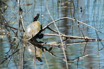 Red-Eared Slider, Post Oak Park