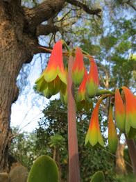Cyrtanthus obliquus - Sherwood Port Elizabeth