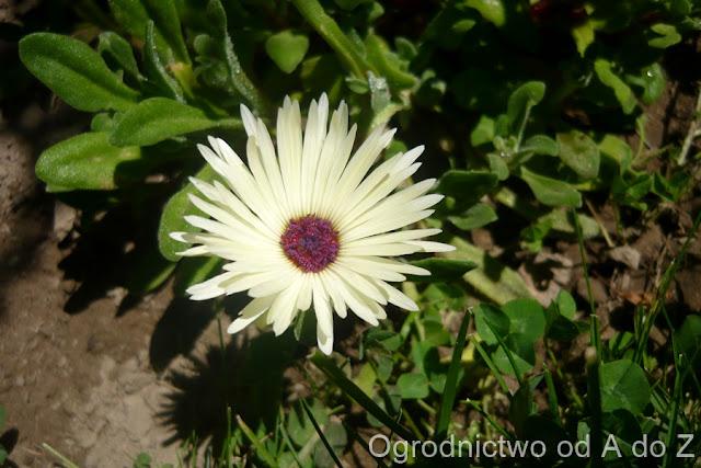 Dorotheanthus bellidiformis