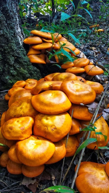 "Poisonous mushrooms in Arkansas ""the jack-o-lantern mushroom"""