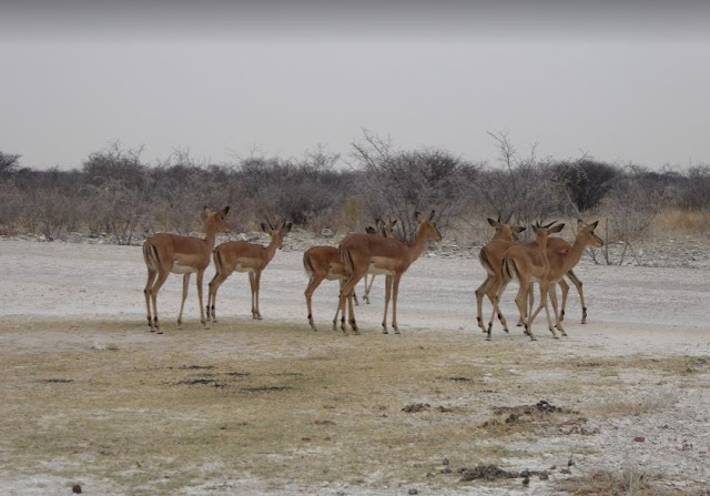 Balck-faced Impala all'Etosha