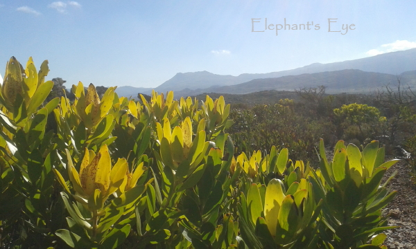 Leucadendron at Cape Point