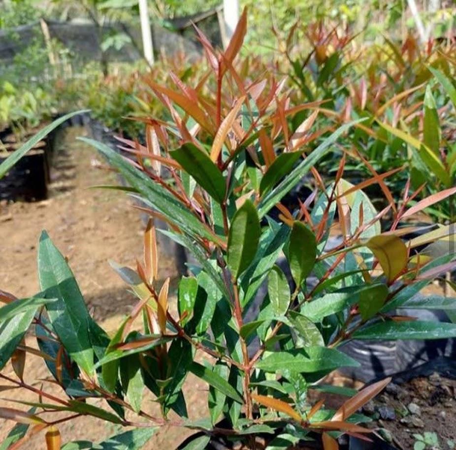 Bibit Tanaman Bunga Pucuk Merah Murah Berkualitas Jawa Timur