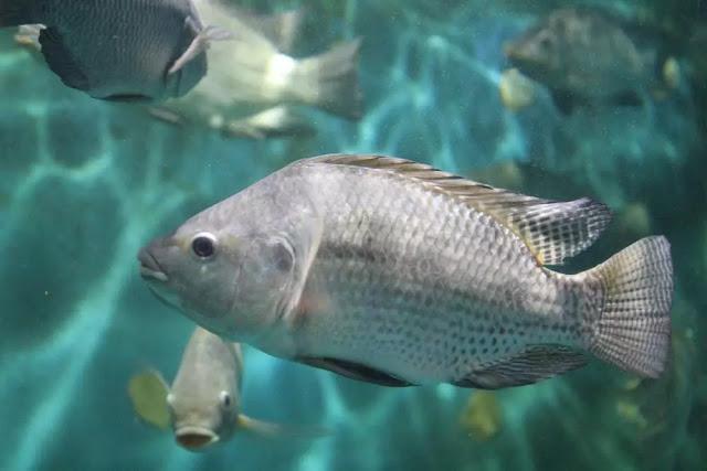 Pakan Ikan Nila