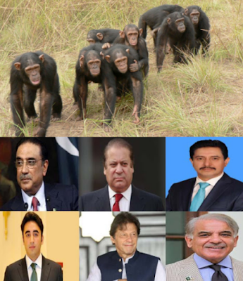 Chimpanzee and politician