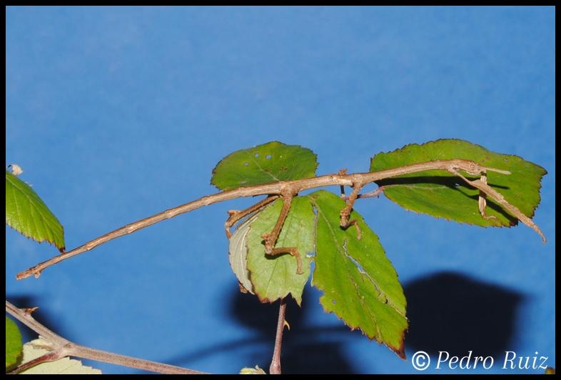 Ninfa macho L6 de Achrioptera manga, 10 cm de longitud