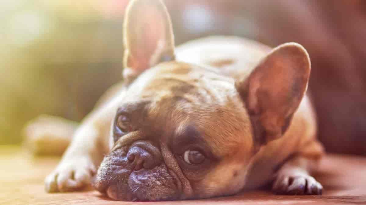 Seu cão está com diarreia