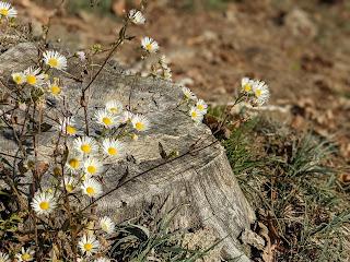 [Asteraceae] Erigeron annuus - Eastern Daisy Fleabane (Cespica annua).