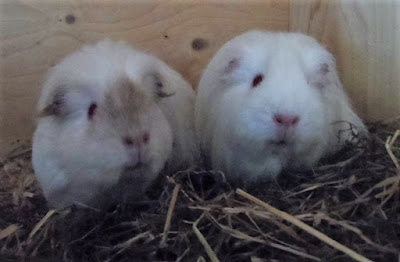 Glynneath Guinea Pig Rescue and Boarding 01639 721127 10am-4pm: New