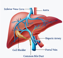 Structure of Liver
