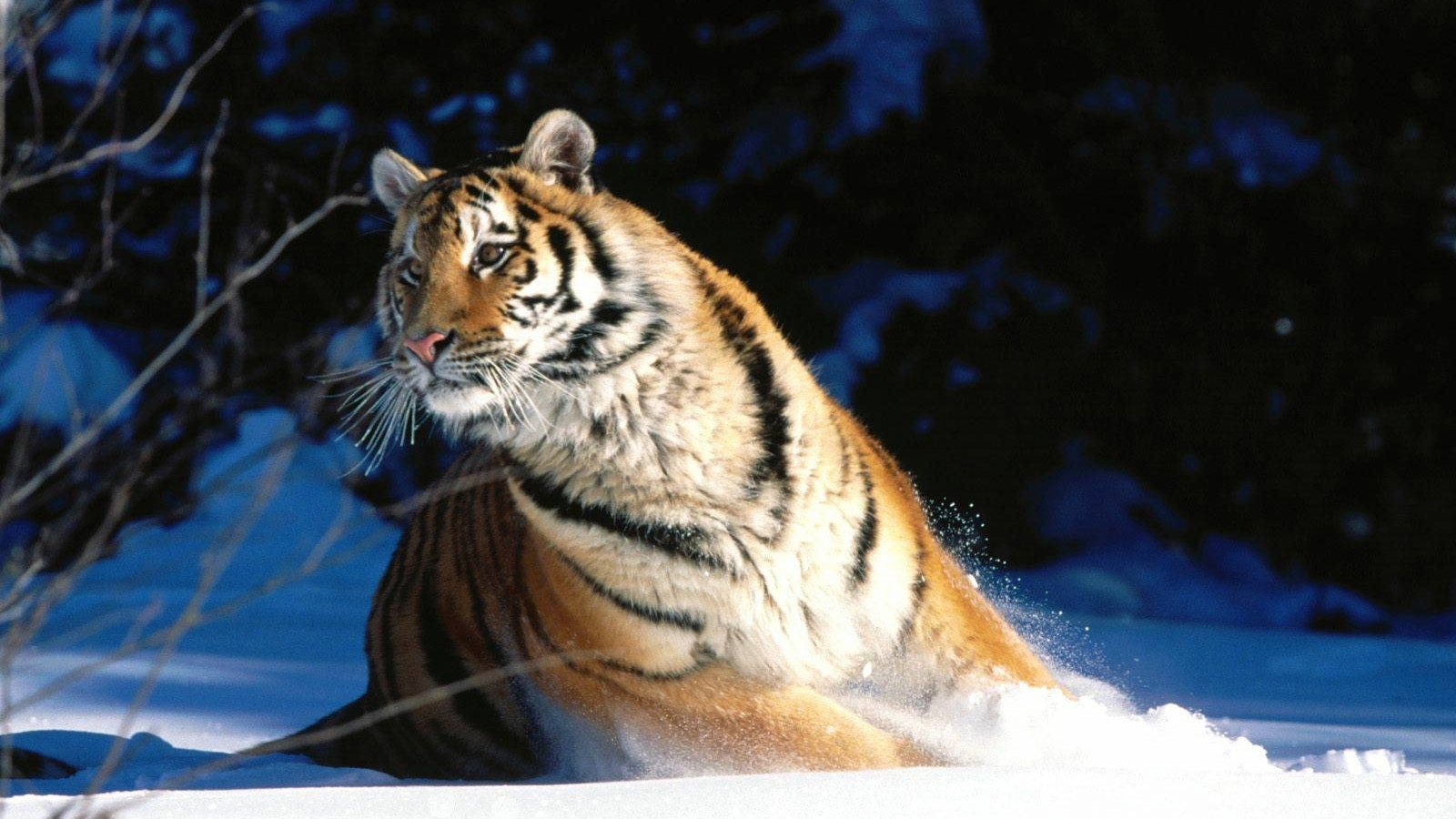 QQ Wallpapers: Wild Cats Wallpapers Set 3