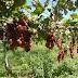 Agricultores driblam seca e ampliam renda com produção de uvas no interior da PB