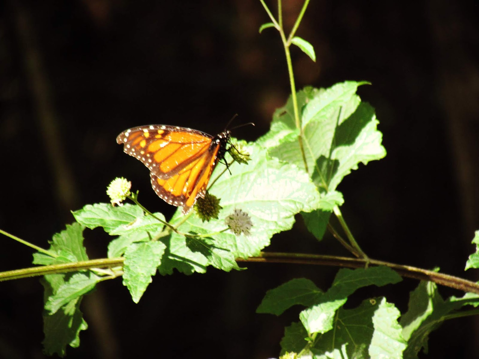 A painted lady butterfly, monarch butterfly, on green foliage in a Florida Fairytale Setting