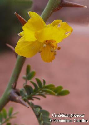 Brea Cercidium praecox