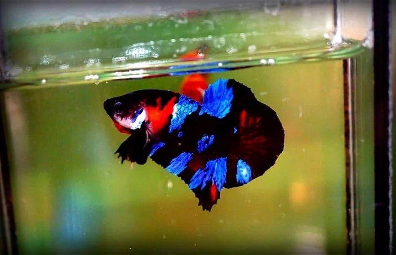 Introducing Betta Fish Container Image