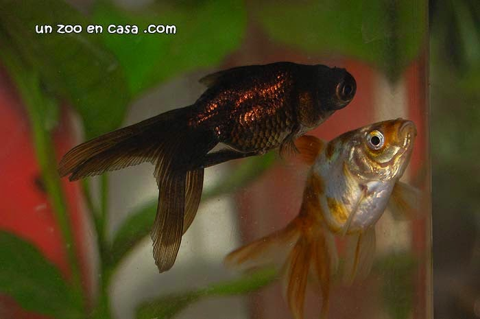 Carpín dorado, goldfish (Carassius auratus)