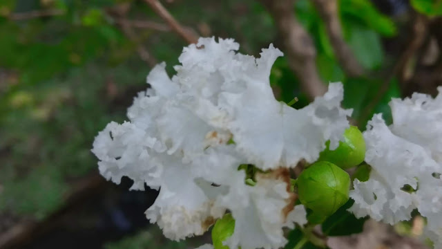 A Bunch Of White Flower | Beautiful White Flower And Leaf | From'S Photography