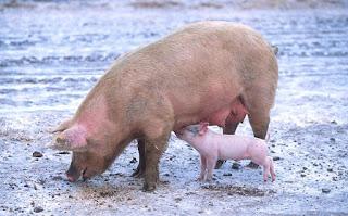 चीन में मार दिए गए 9 लाख सूअर इस वजह से