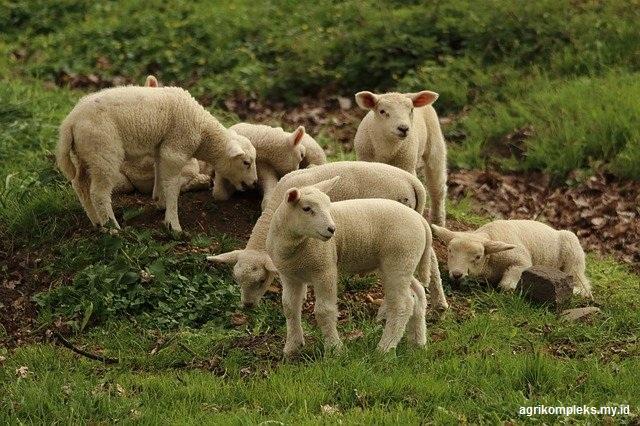 Pemilihan bibit sebagai calon induk dan pejantan dimaksudkan untuk memperoleh keturunan ya Pemilihan Bibit Domba Sebagai Calon Induk Dan Pejantan