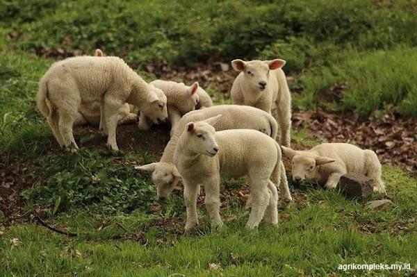 Pemilihan Bibit Domba Sebagai Calon Induk Dan Pejantan