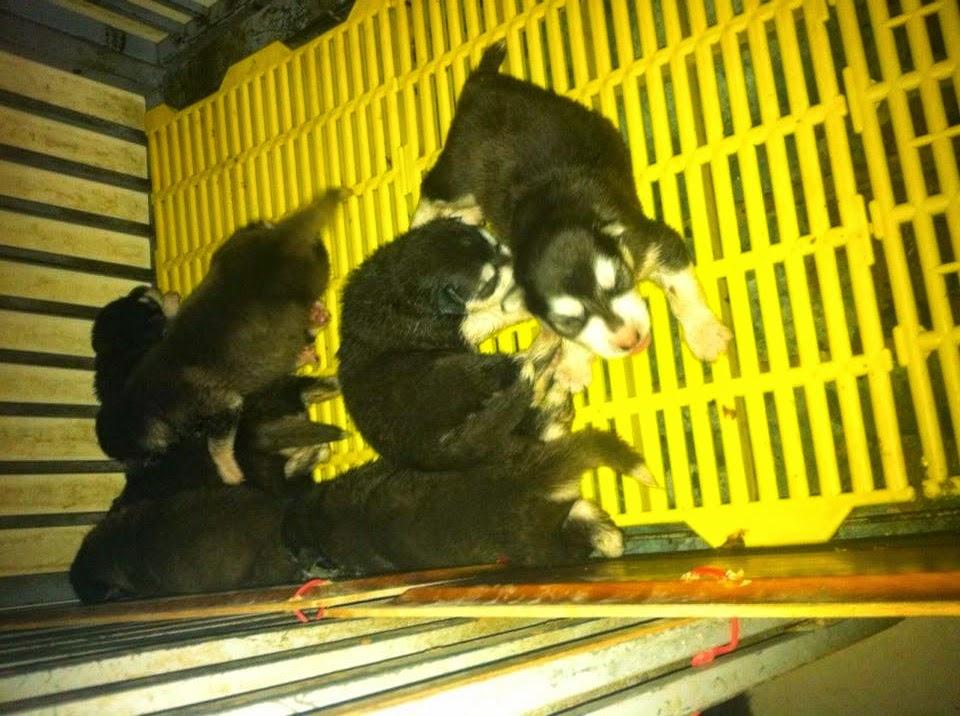 Đan alaska 8 con 10 ngày tuổi