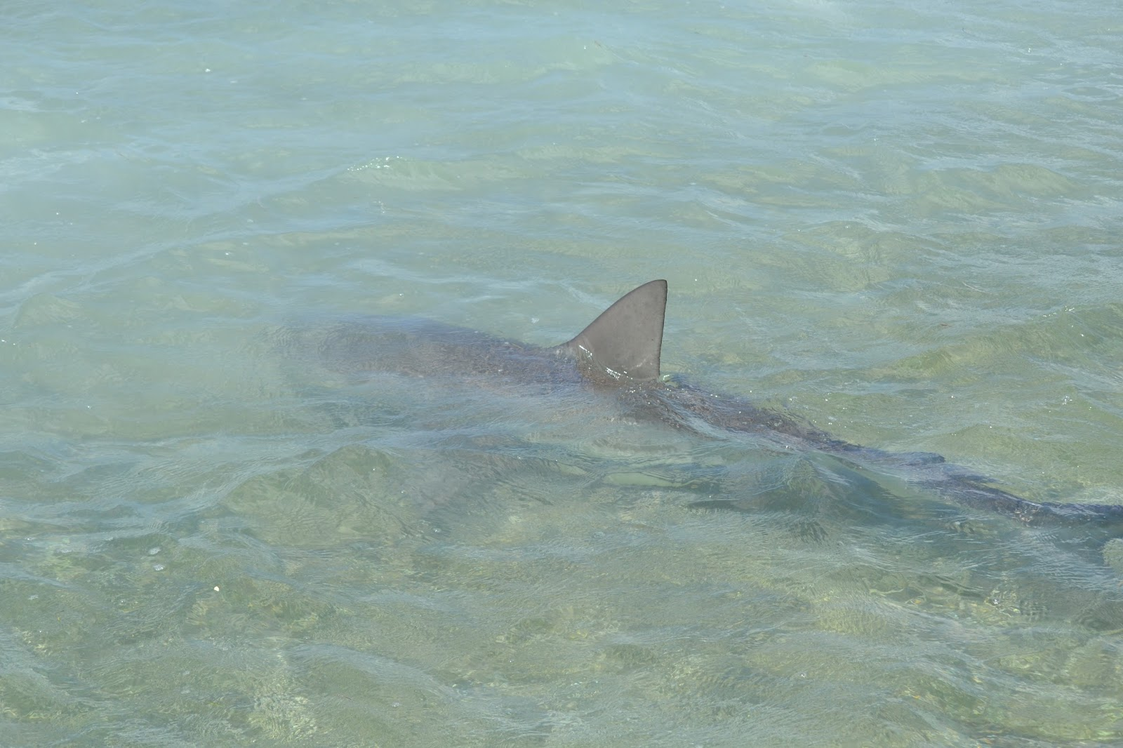 The Pine Island Angler: Key West Shark Attack
