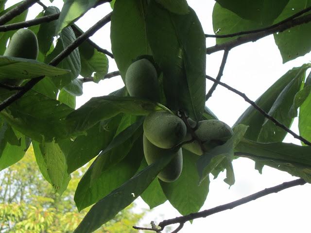 Frutti Raggruppati Asimina triloba