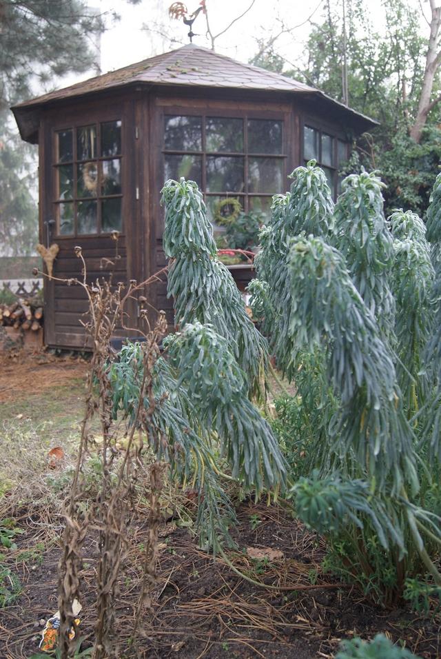 Palisadenwolfsmilch bei Frost mit heruntergeklappten Blättern