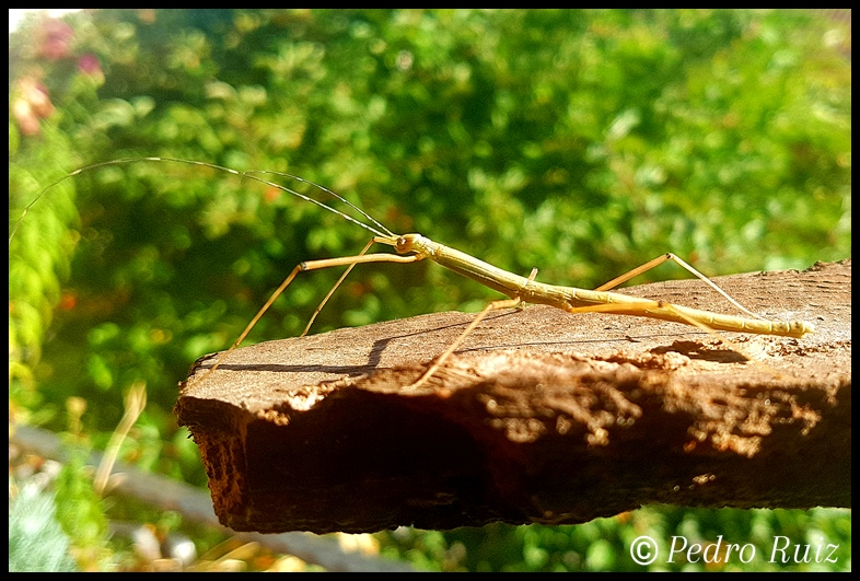 "Ninfa macho L5 de Lamachodes sp. ""Nui Chua"", 5,3 cm de longitud"
