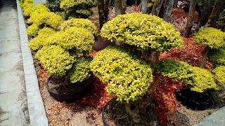 Jual Pohon Bonsai legistrum,Jual Bonsai Mini Daun Kuning