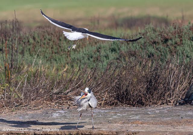 Kelp Gull Attacking Grey Heron Woodbridge Island Vernon Chalmers Photography 3