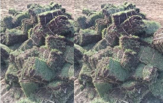 rumput jepang