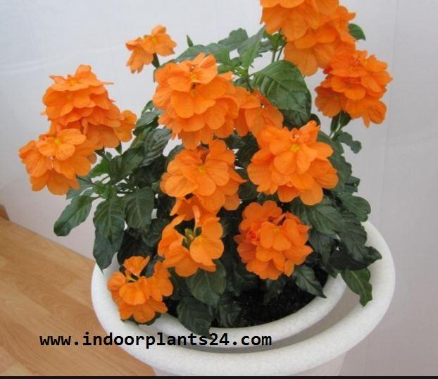 Crossandra Infundibuliformis plant image