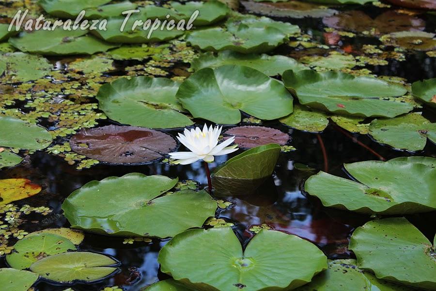 Nenúfar en un estanque, género Nymphaea