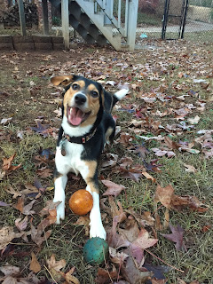 puppy with Kong ball