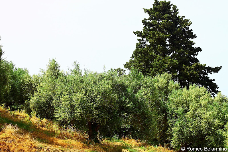 Anoskeli Olive Grove Greek Wine Island of Crete