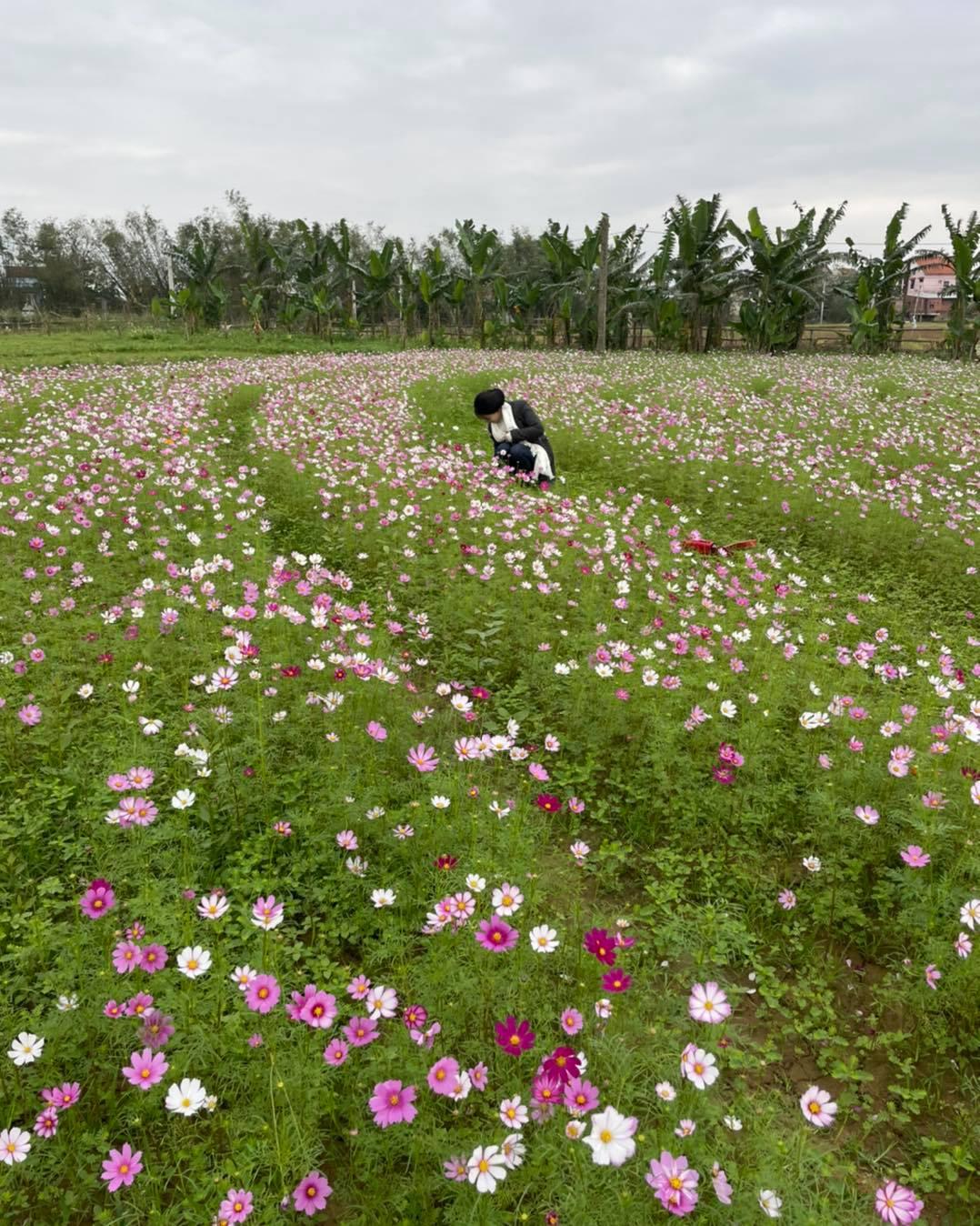 Ảnh chụp vườn hoa cánh bướm đang nở rộ tại Điện Phương Riverside Village. Hình ảnh: Điện Phương Riverside Village.