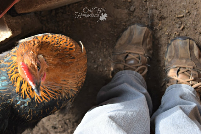 Hen with a pea comb in the hen house.