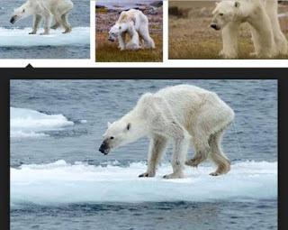 Beruang kutub kurus dan kelaaran akibat pemanasan global