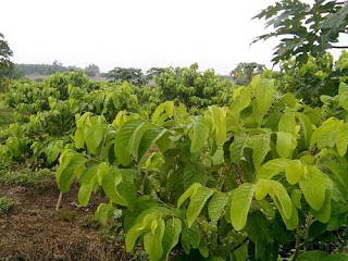 Viện cây giống trung ương, na thái lan cung cấp hàng chuẩn giống, cam kết chất lượng.