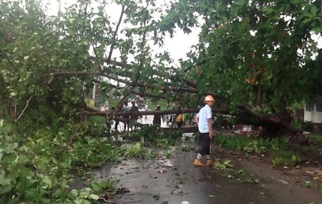 Hati-hati..! Ada 44 Pohon Rawan Tumbang di Banjarbaru, Disini Lokasinya