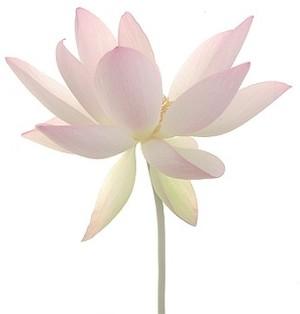 Lotus Flower Symbol Of Lotus Flower