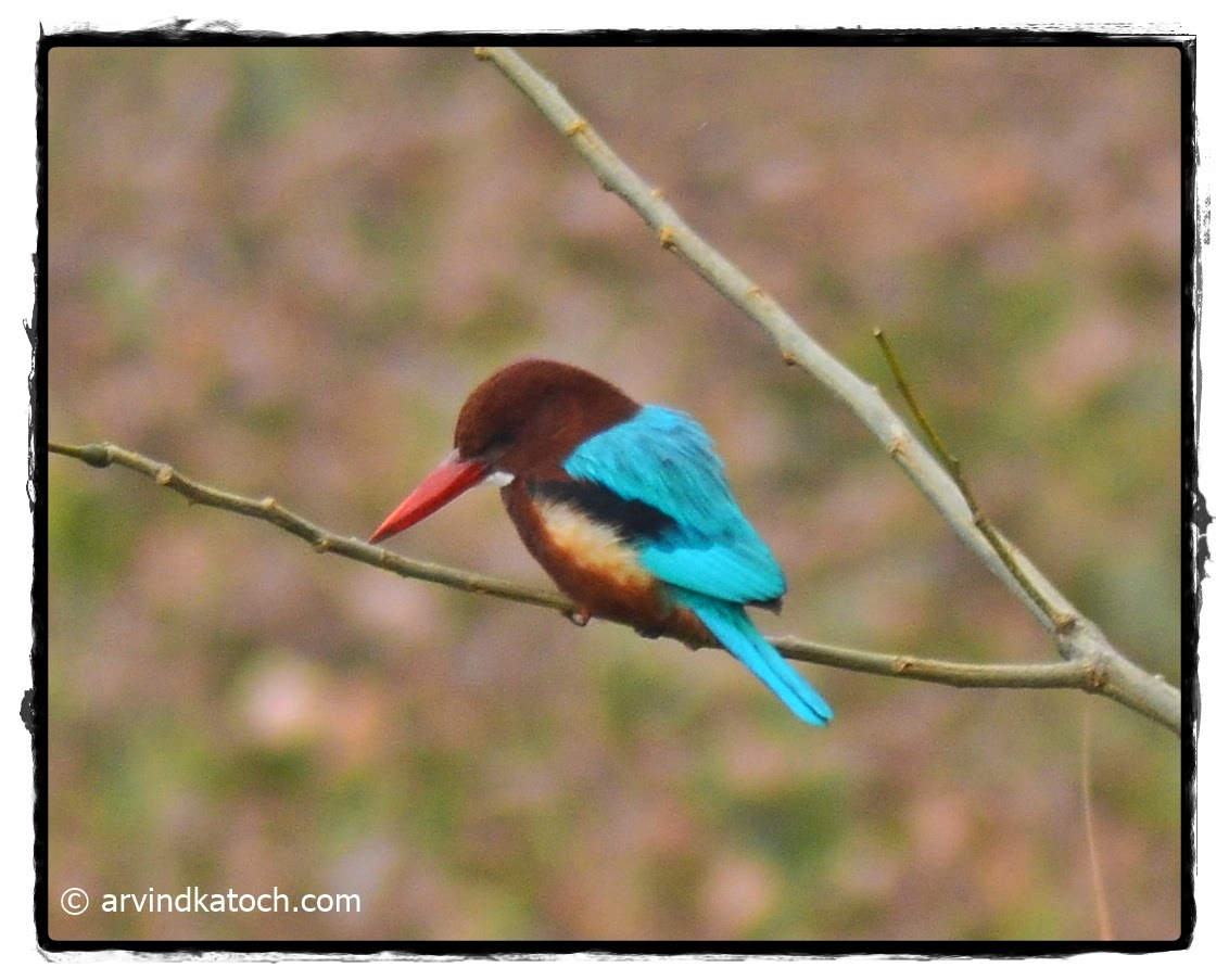 White Throated Kingfisher, Kingfisher